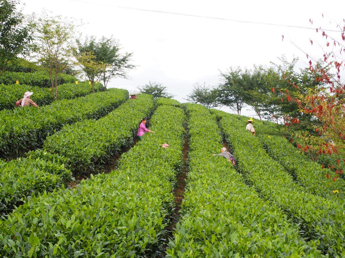 贵州湄潭茶园采茶人