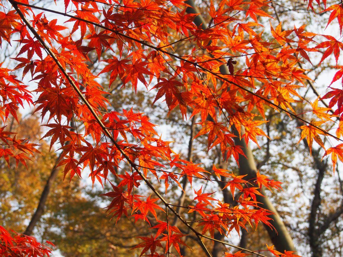 栖霞山枫叶