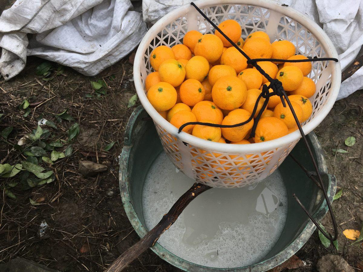 浙江·台州·黄岩蜜橘