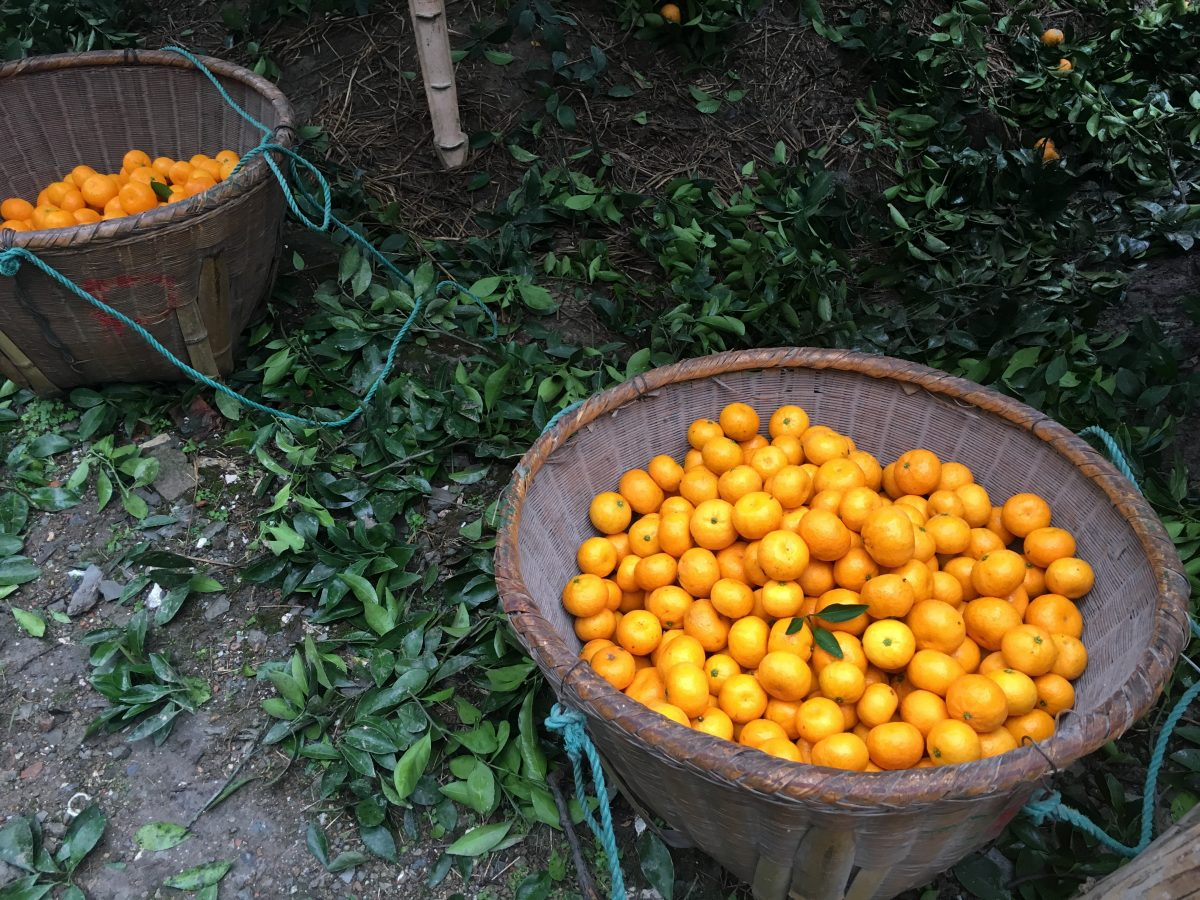 初冬到台州吃橘子