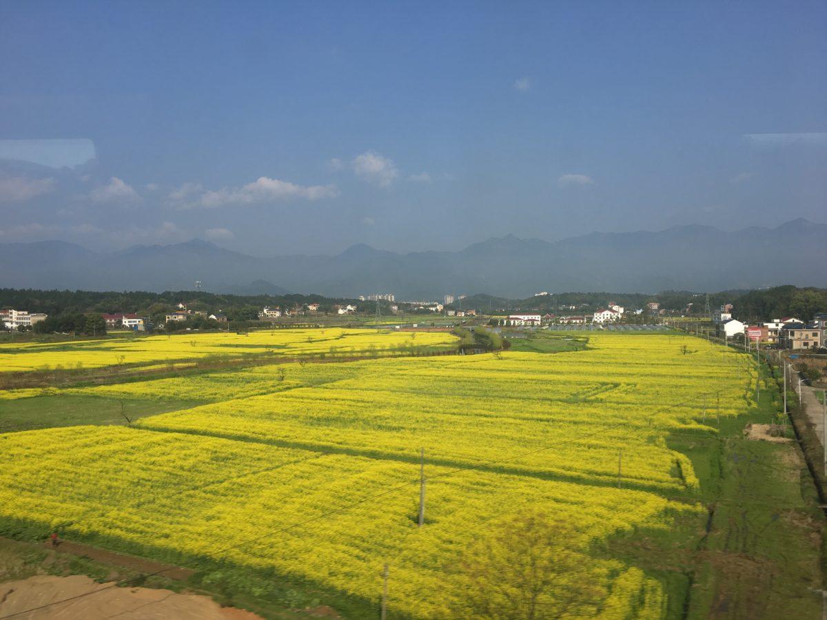 湖南衡阳地区的油菜花开了