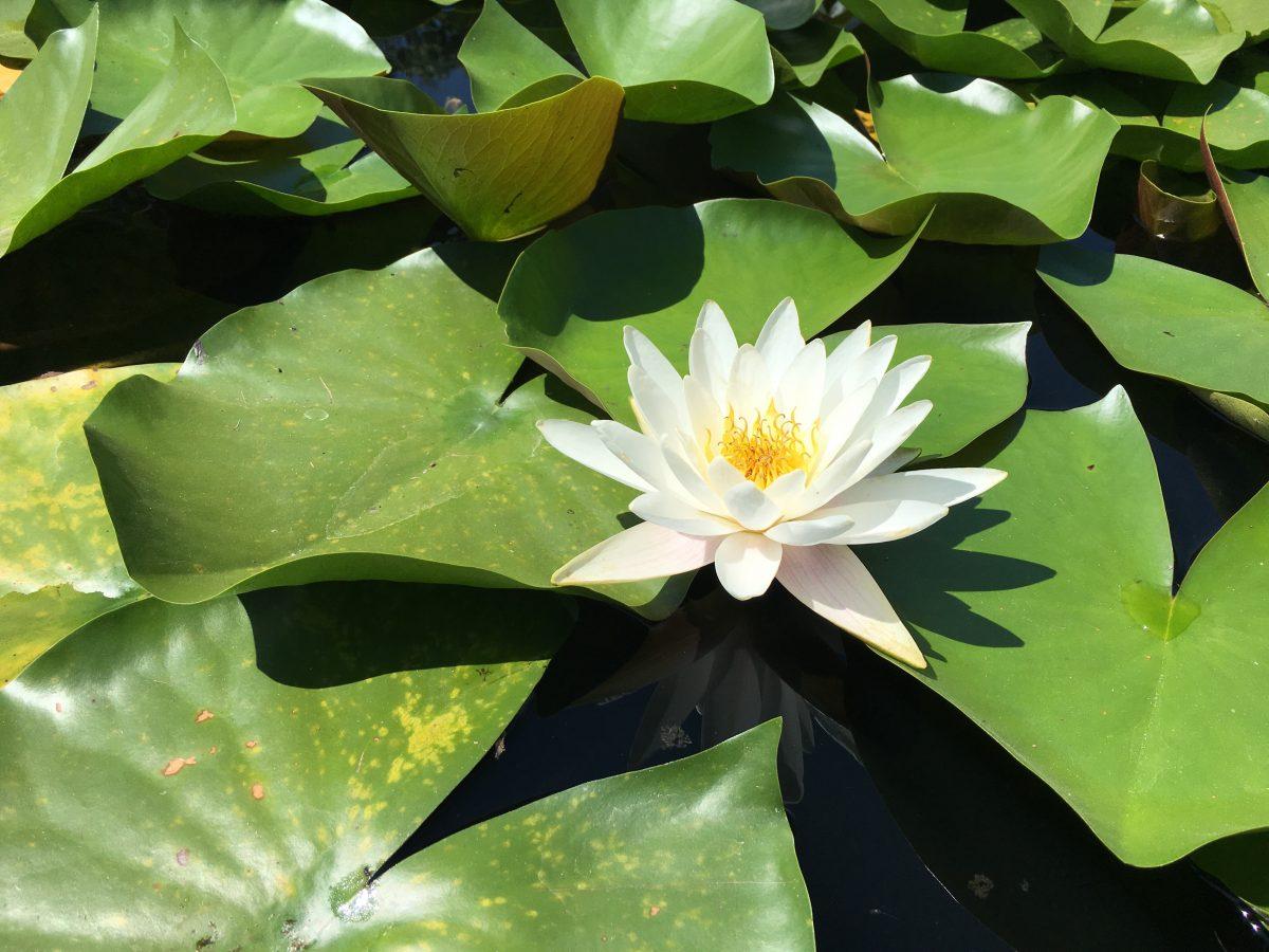 夏天·池塘·睡莲