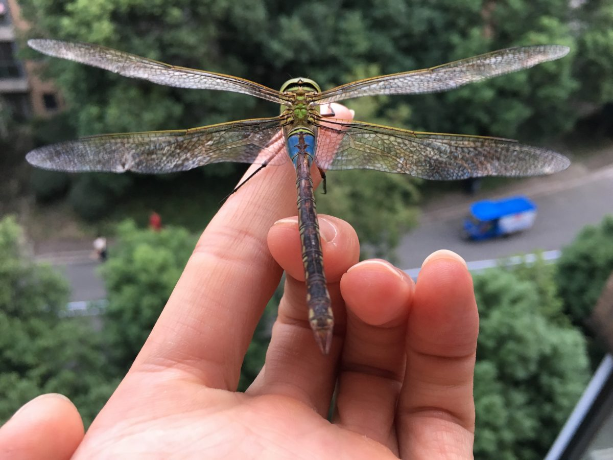 昆虫·蜻蜓