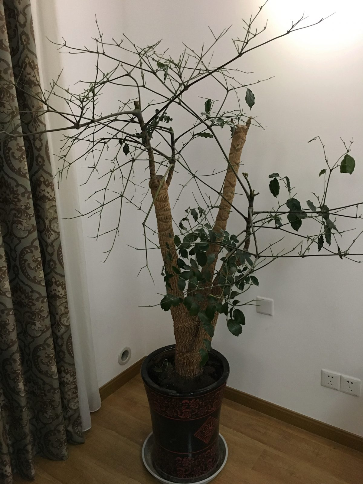 幸福树·菜豆树叶子掉光