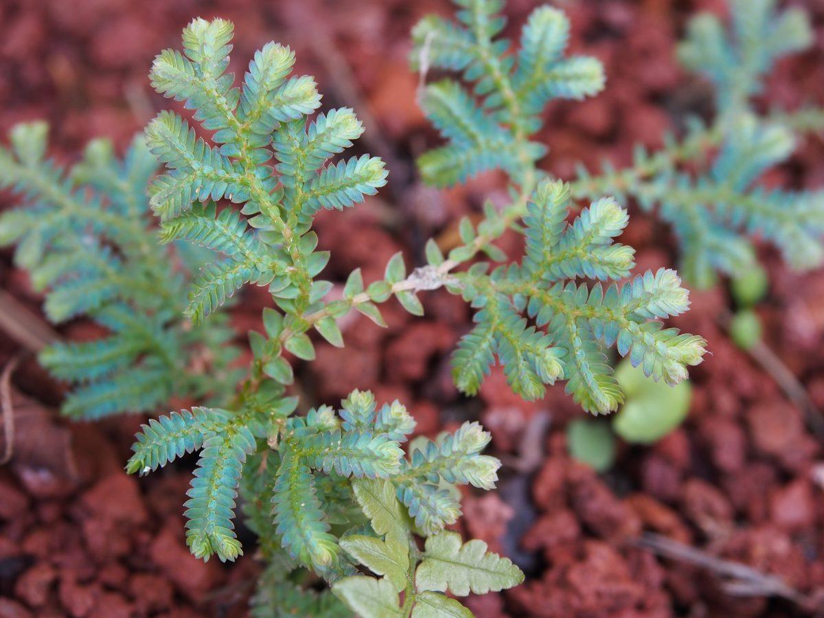 蕨类植物·翠云草