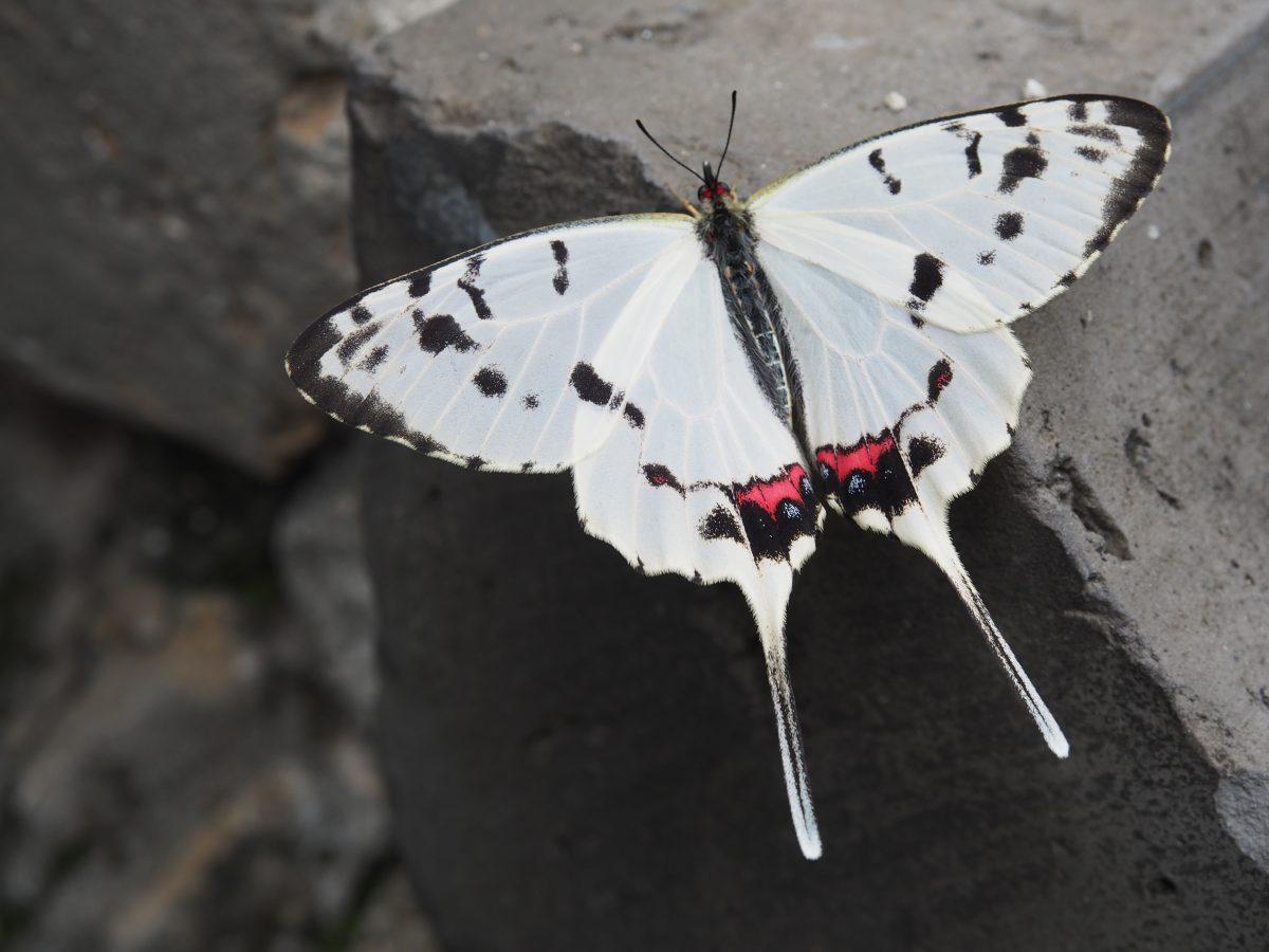 北京·昆虫·蝴蝶·丝带凤蝶·雄蝶