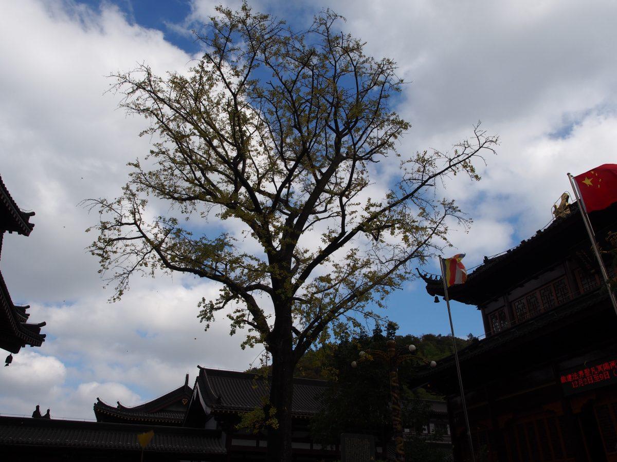宜兴南岳禅寺·古银杏树