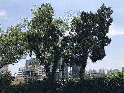 松树左边这棵树干的树洞里生活着一群蜜蜂