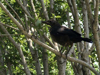 枝头上的鸟,这是一只幼鸟,翅膀还没硬