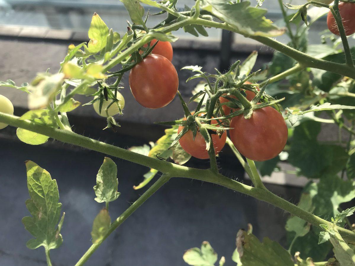 炎热夏季·清晨·阳光·番茄🍅
