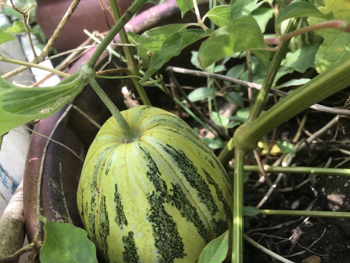 阳台种植·瓜