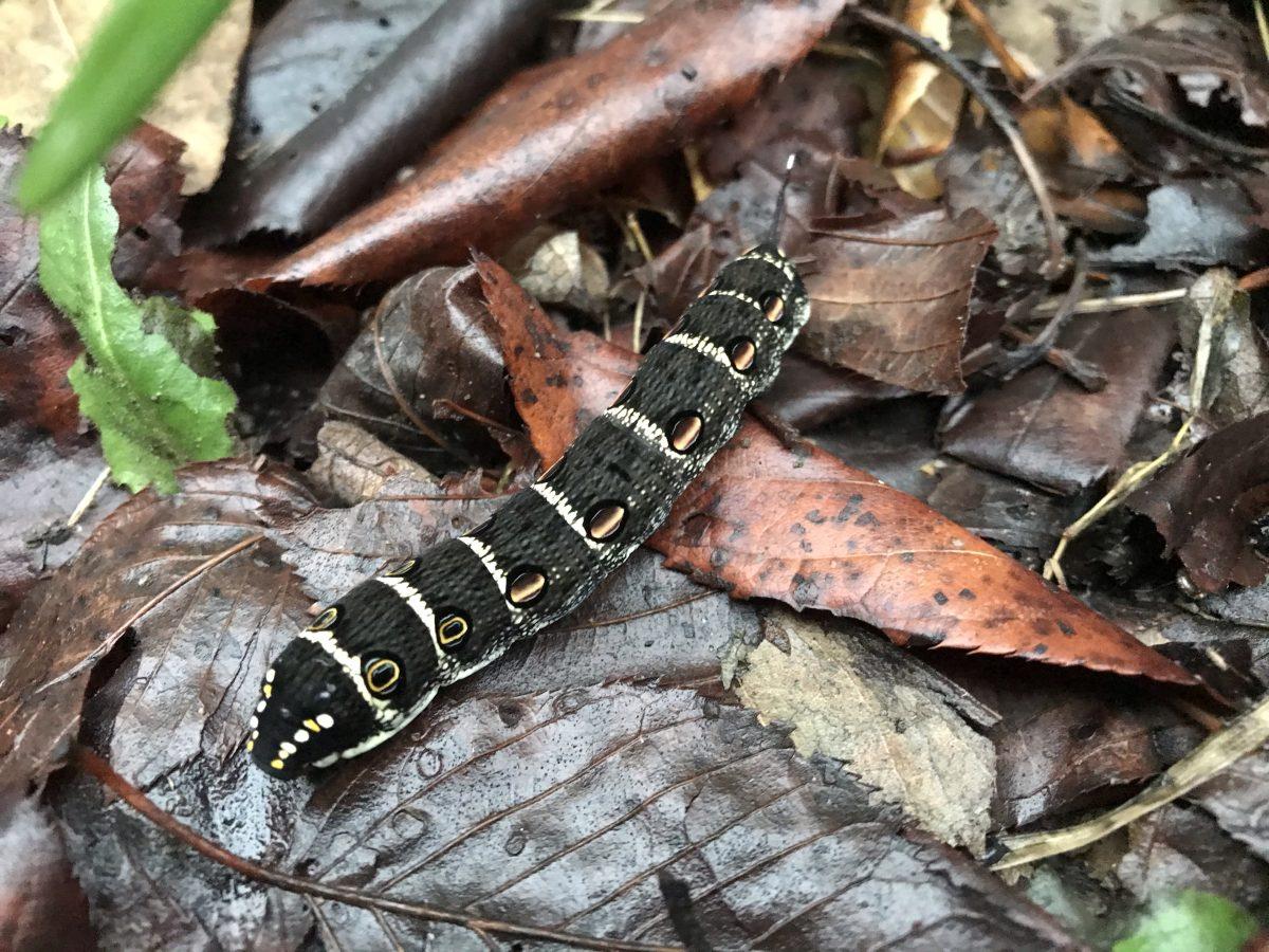 清晨·雨后·潮湿树林·芋双线天蛾幼虫·虫子