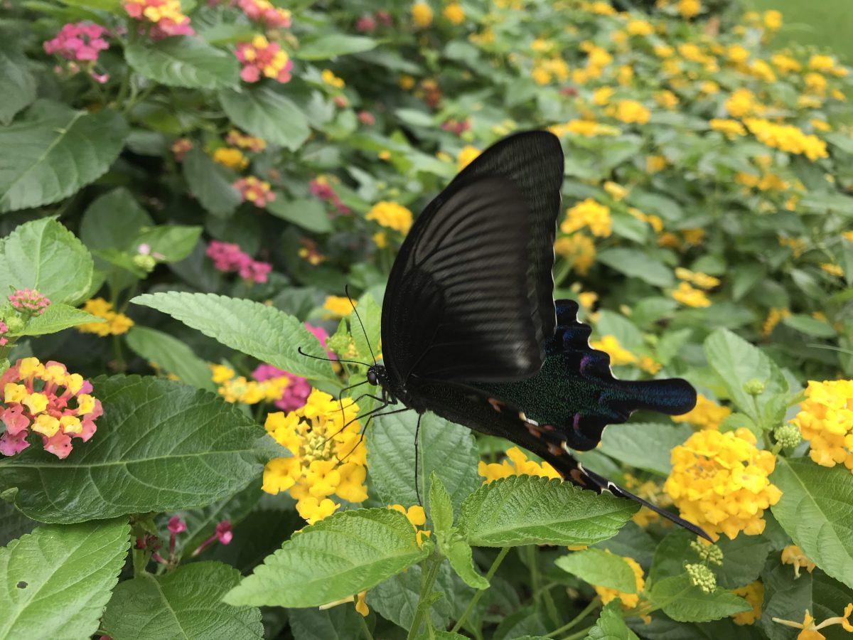 秋季·昆虫·蝴蝶·碧凤蝶