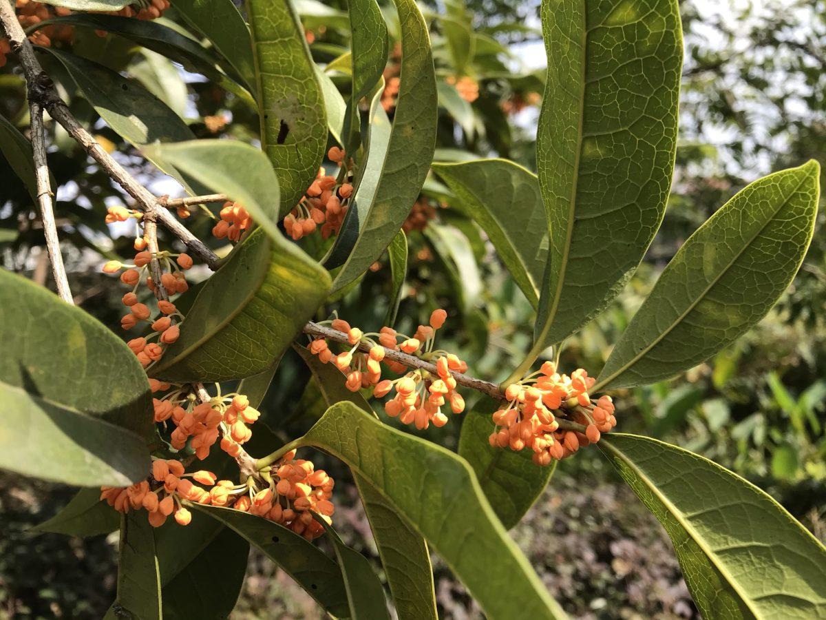 秋季·植物·桂花·花香浓郁